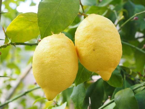 proprietà del limone ed uso terapeutico