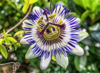proprietà della passiflora