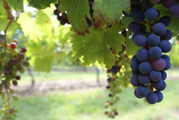 valori nutrizionali dell'uva