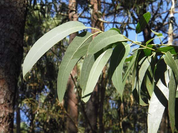 eucalipto-foglie-tisana